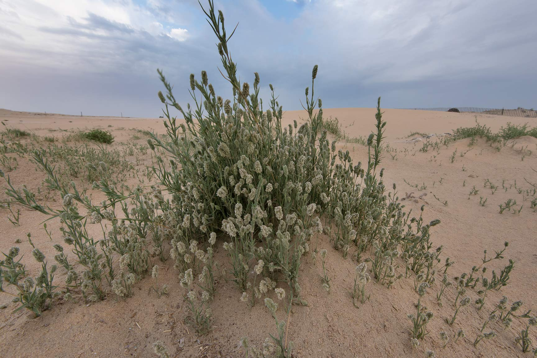 Common salt grass (Aeluropus lagopoides) in...in area of Khashem Al Nekhsh. Qatar