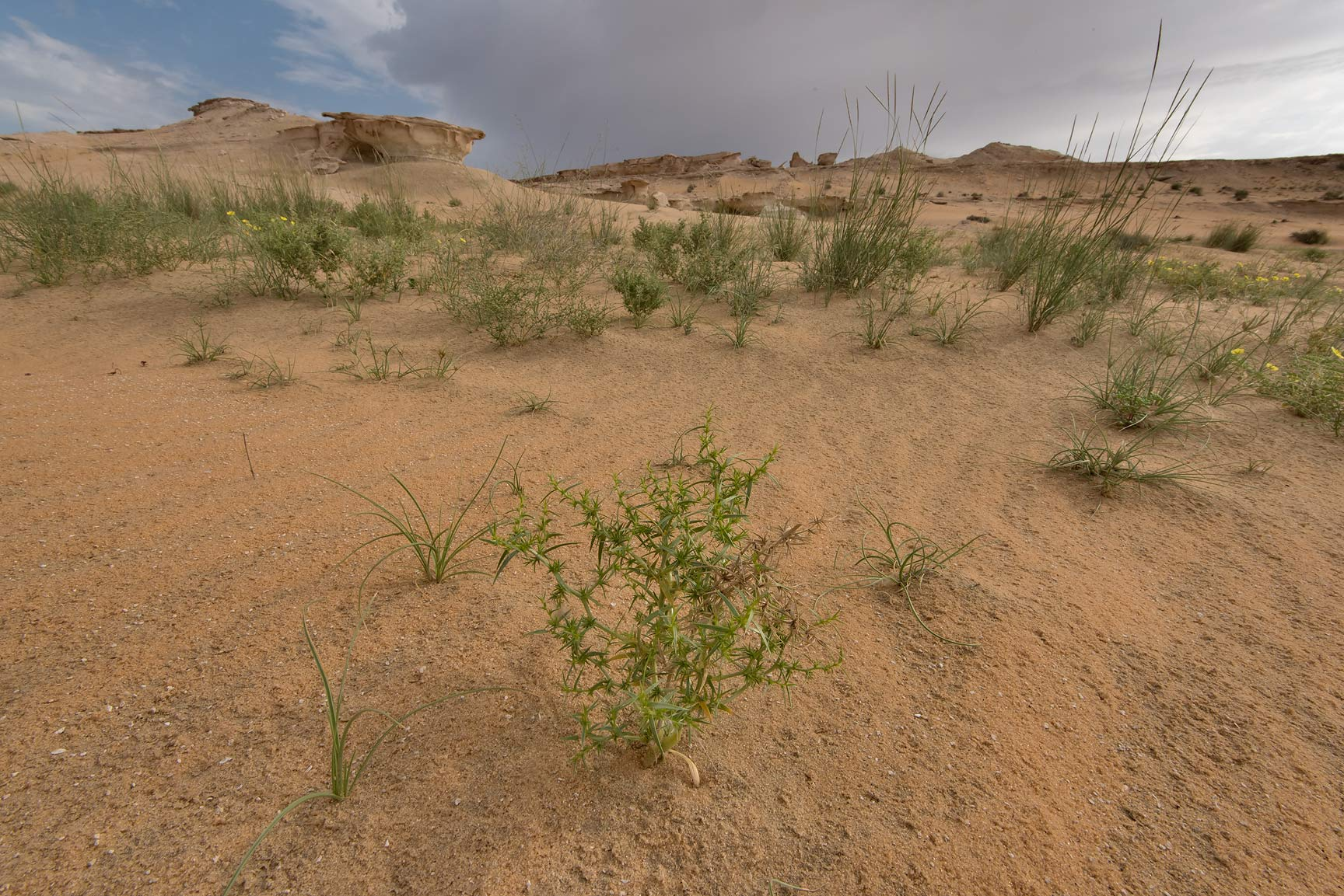 Plant of Agriophyllum minus in sandy area below a...Reserve near Abu Samra. Southern Qatar