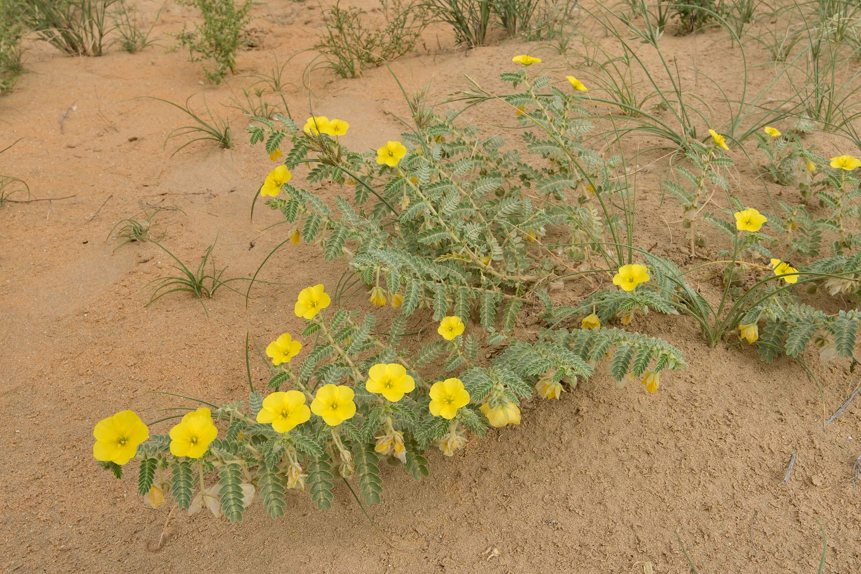 Yellow flowers of Tribulus macropterus var...Reserve near Abu Samra. Southern Qatar
