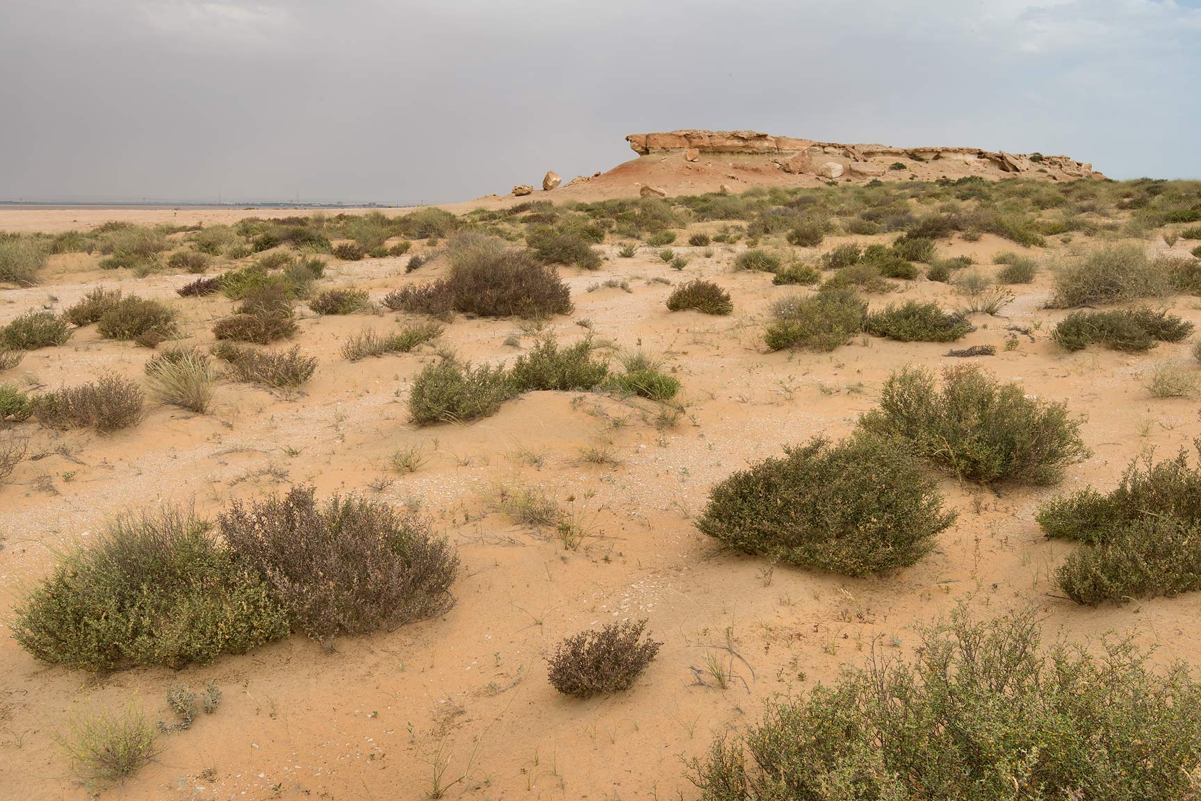 Vegetation on sand dunes in Maszhabiya (Al...Reserve near Abu Samra. Southern Qatar