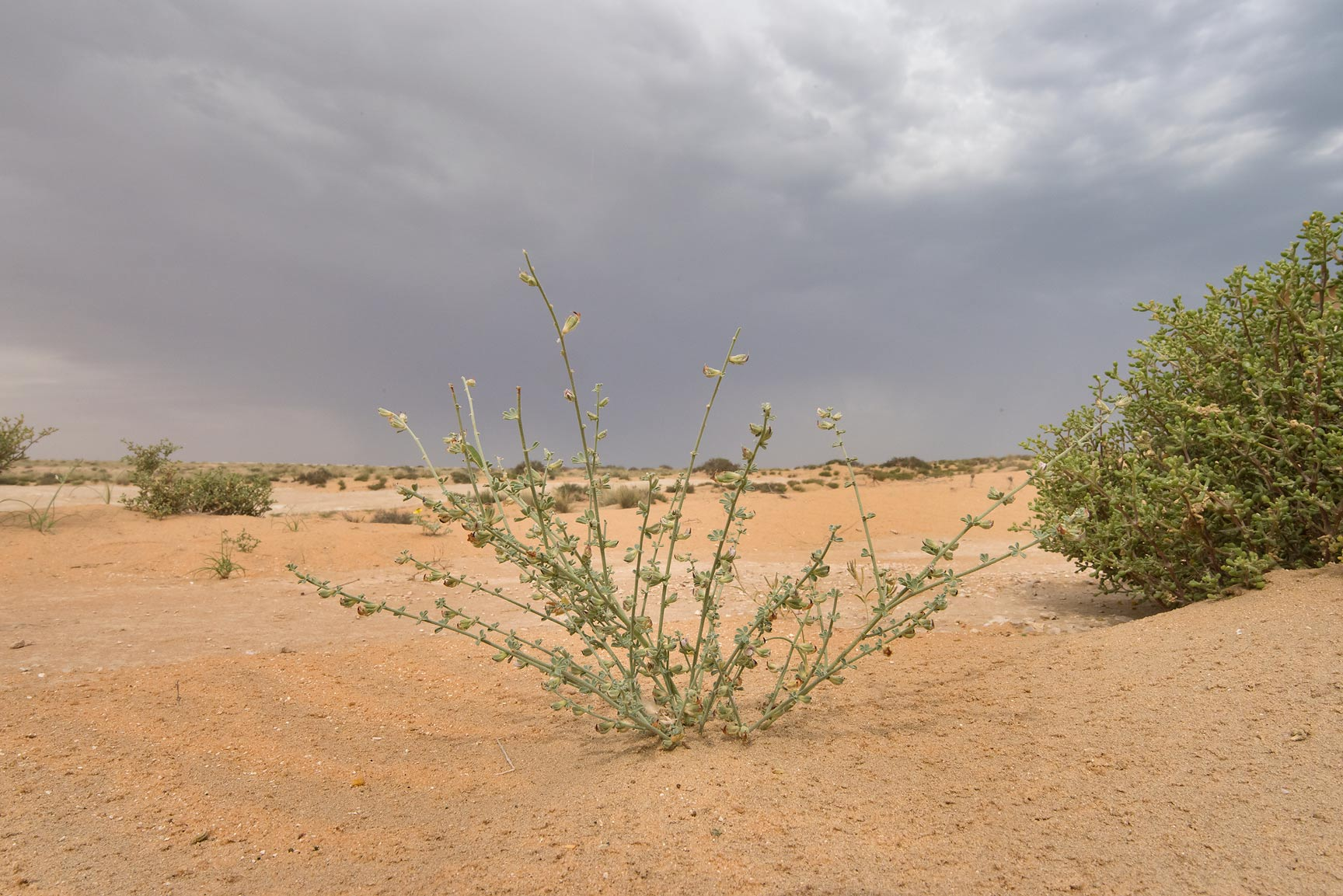 Plant of Lotus garcinii on sand dunes in...Reserve near Abu Samra. Southern Qatar