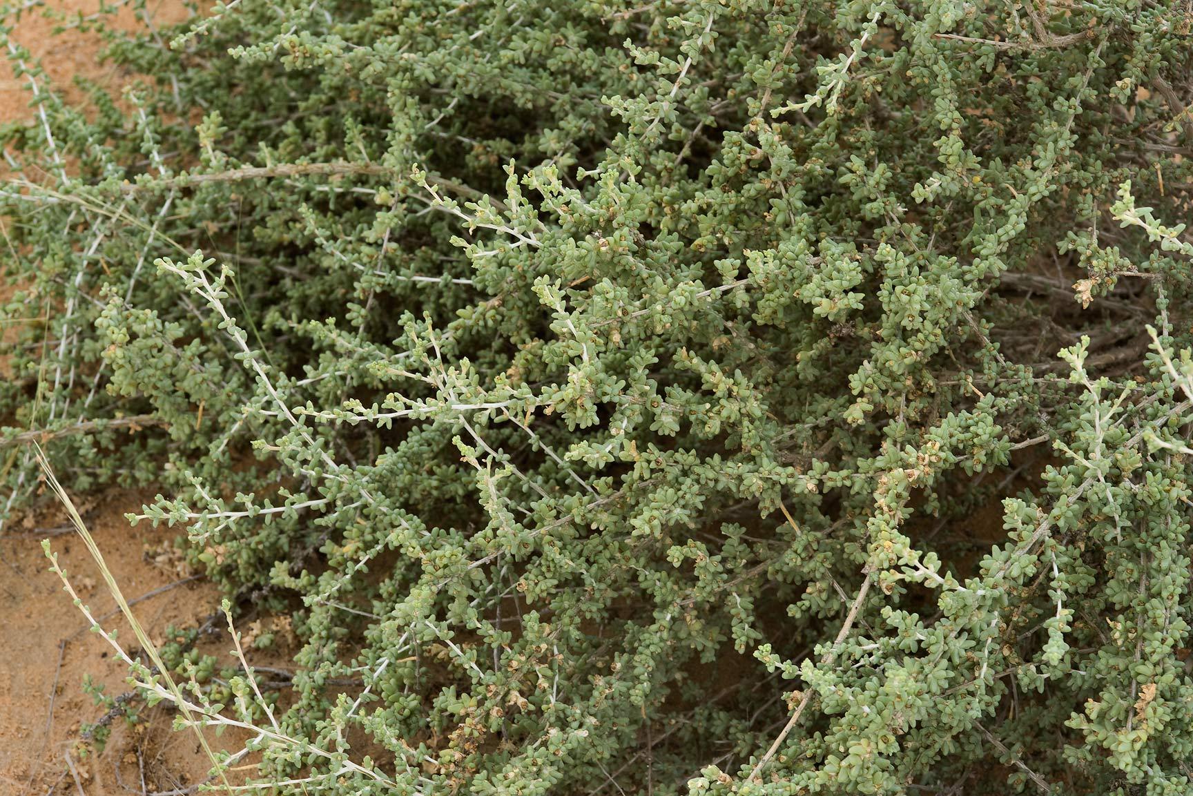 photo 180206 branches of traganum nudatum local name