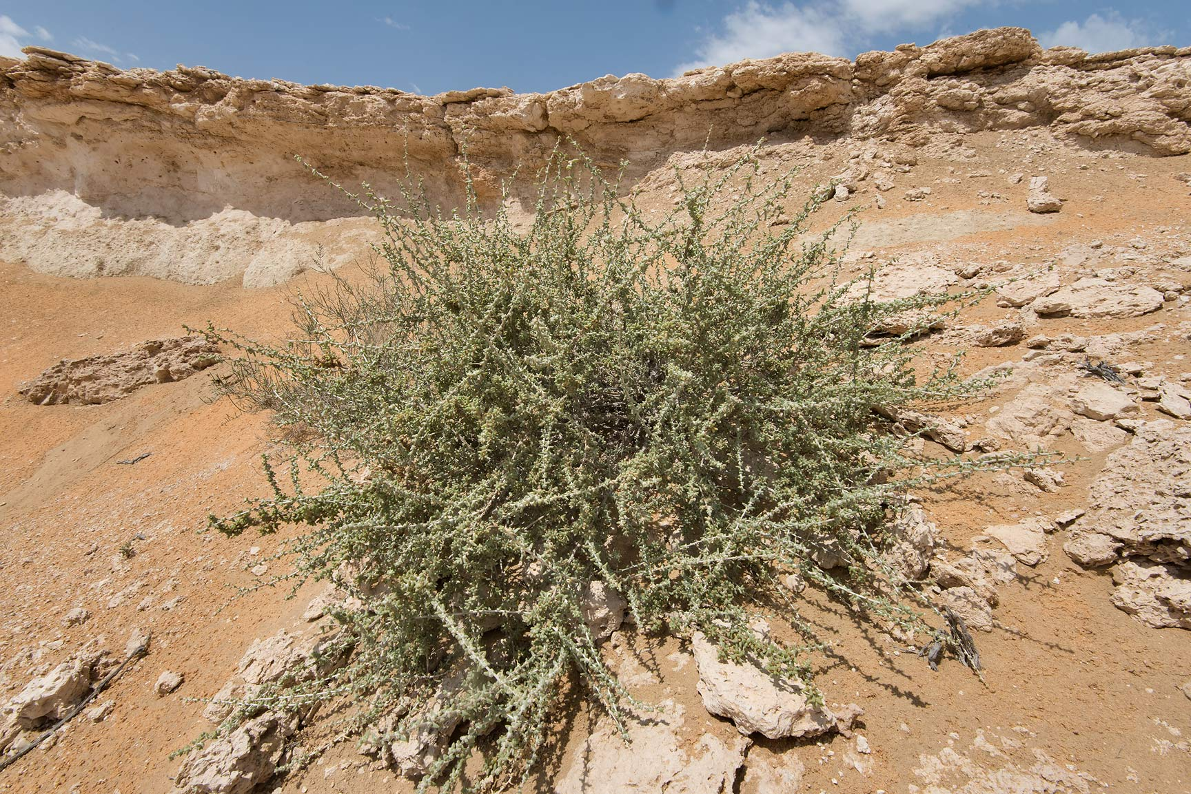 Bush of Traganum nudatum (local name dumran) on a...Reserve near Abu Samra. Southern Qatar