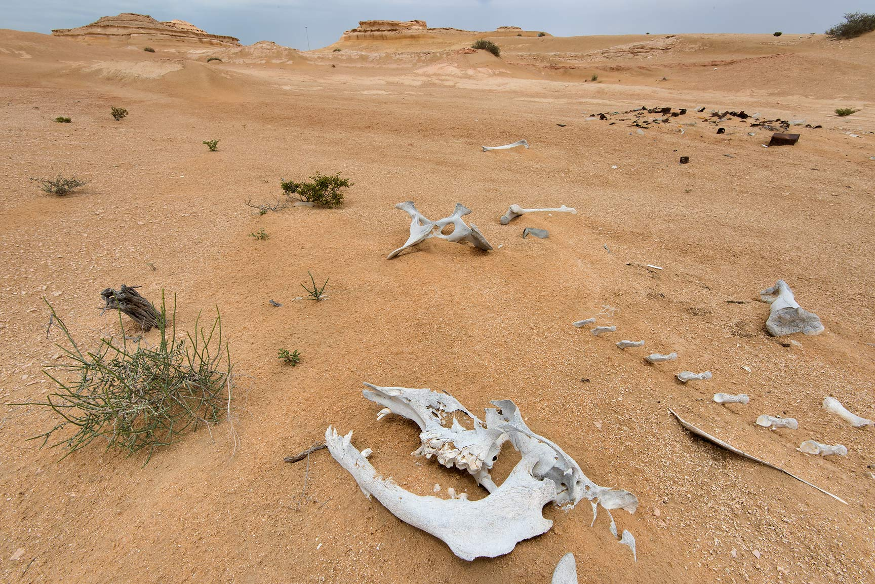 Bleached camel skeleton near Salwa Rd. in area of Rawdat Ekdaim. Southern Qatar
