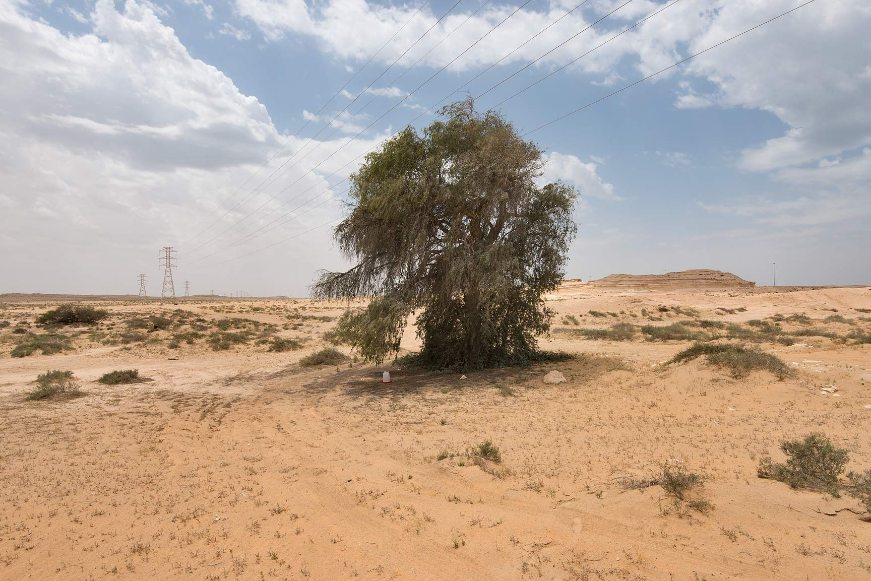 Ghaf tree (Prosopis cineraria) near Salwa Rd. in area of Rawdat Ekdaim. Southern Qatar