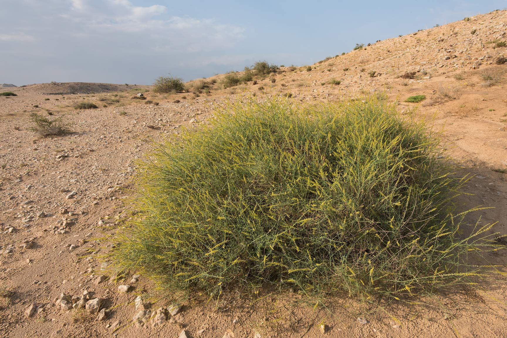Ochradenus baccatus (local names qardi, Qurdi) in...north from Dukhan in western Qatar