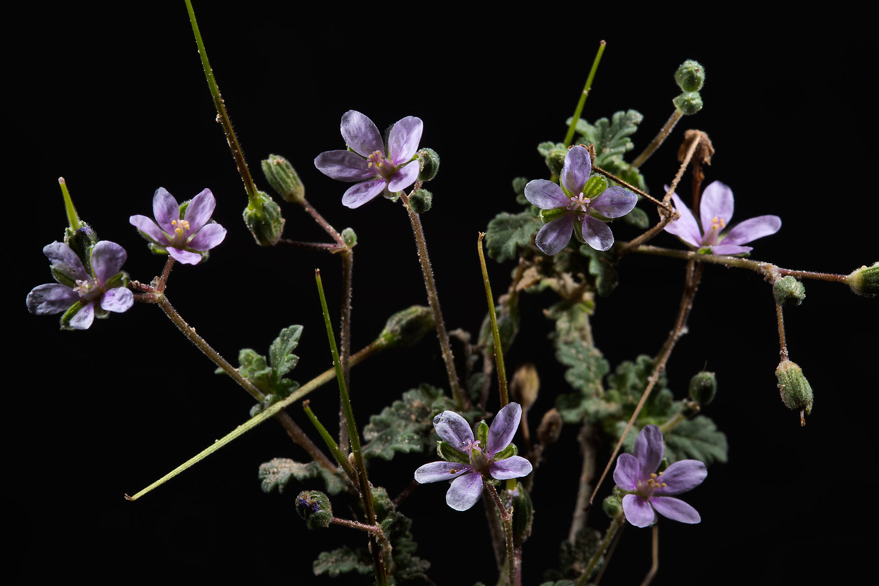 Cutleaf Heron's bill (Erodium laciniatum...from Khawzan to Al-Jumayliyah. Qatar