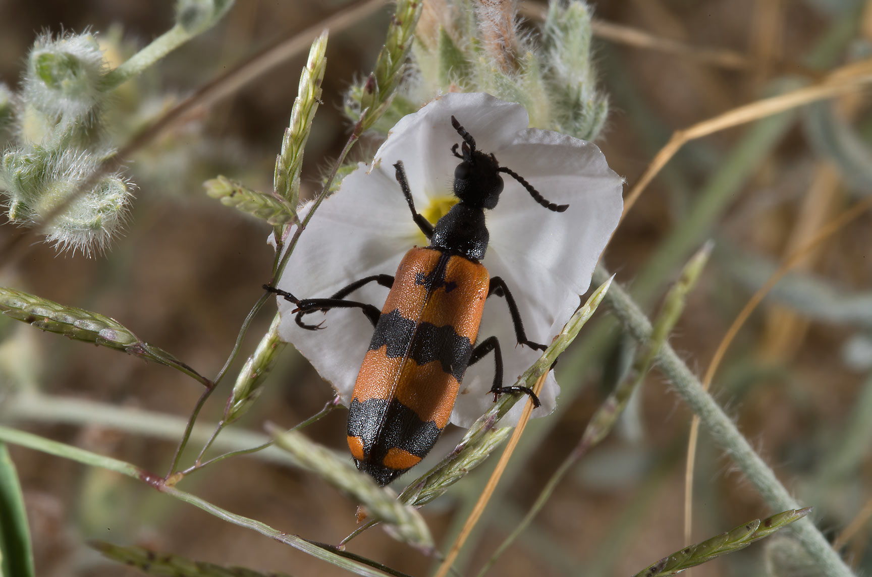 Black and orange CMR (blister, or oil) beetle...from Khawzan to Al-Jumayliyah. Qatar