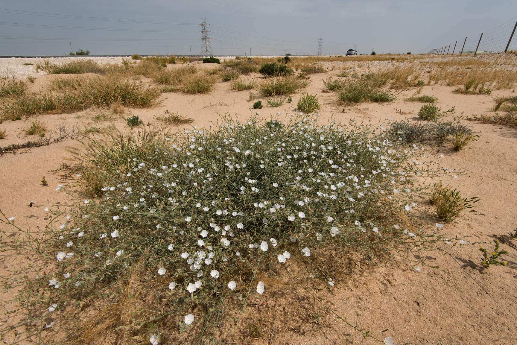 Bushy bindweed (Convolvulus prostratus, morning...from Khawzan to Al-Jumayliyah. Qatar