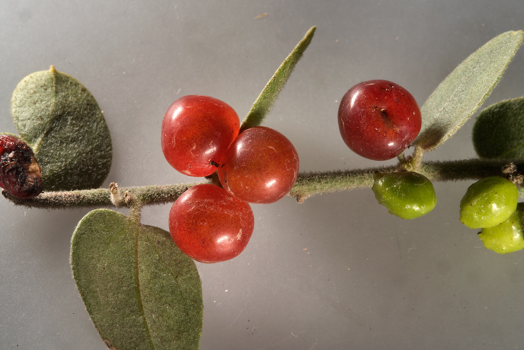 Red berries and green galls on Cocculus pendulus...from Khawzan to Al-Jumayliyah. Qatar