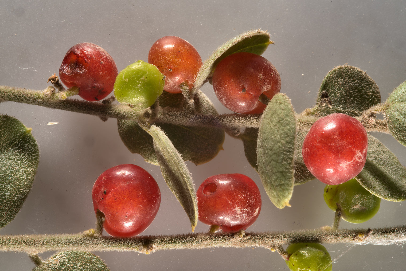 Red berries of Cocculus pendulus (local names...from Khawzan to Al-Jumayliyah. Qatar