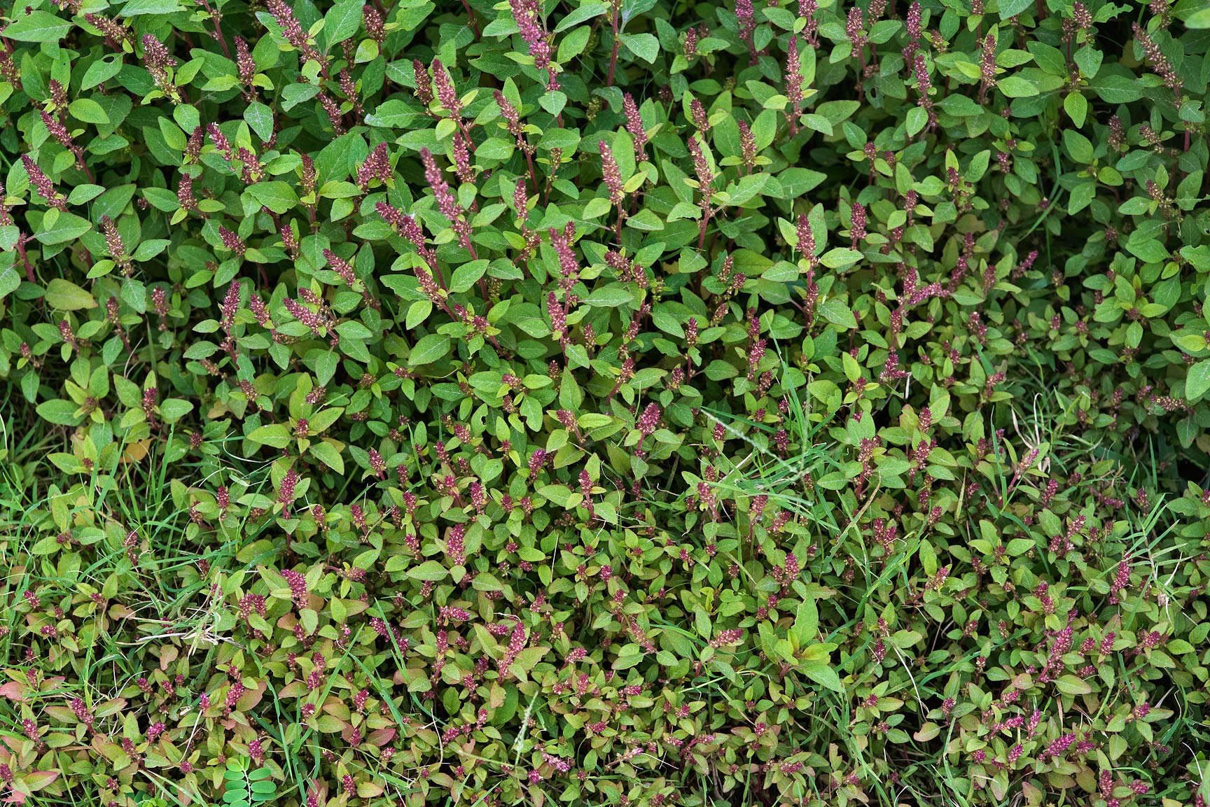 Seedlings of red amaranth (Amaranthus hybridus...St. in Onaiza area. Doha, Qatar