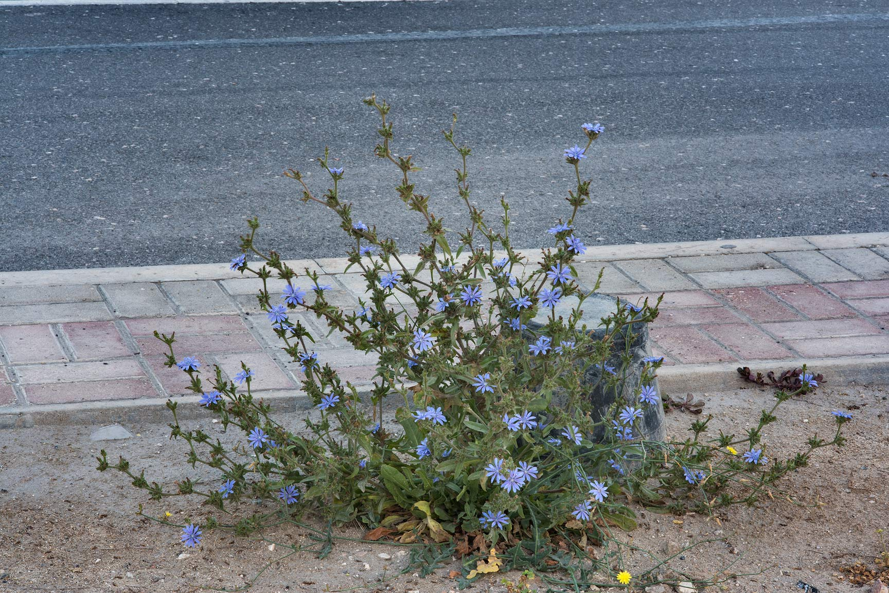 Chicory plant (Cichorium pumilum) on the median...St. in Onaiza area. Doha, Qatar