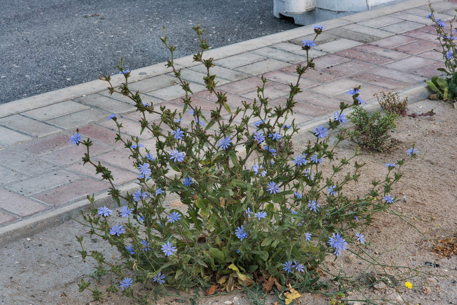 Chicory (Cichorium pumilum) with blue flowers on...St. in Onaiza area. Doha, Qatar