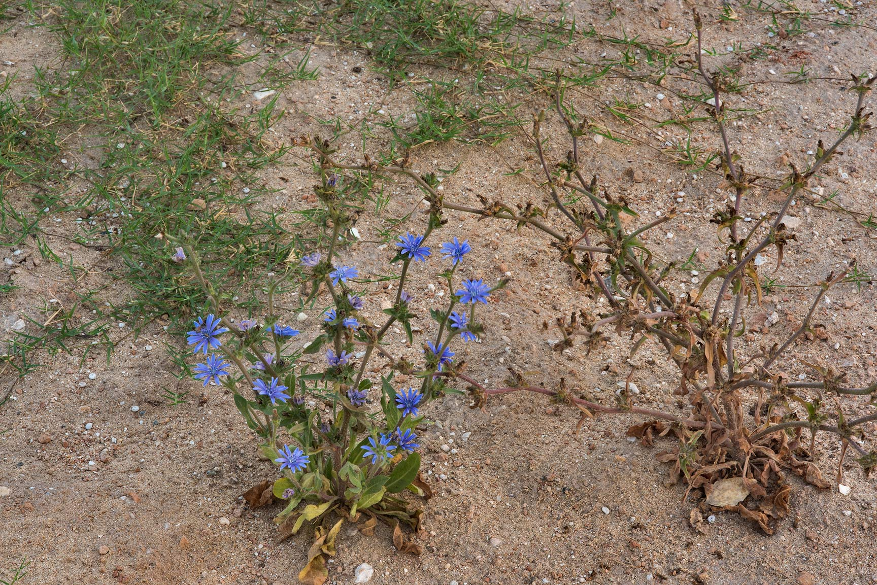 Plants of chicory (Cichorium pumilum) on the...St. in Onaiza area. Doha, Qatar