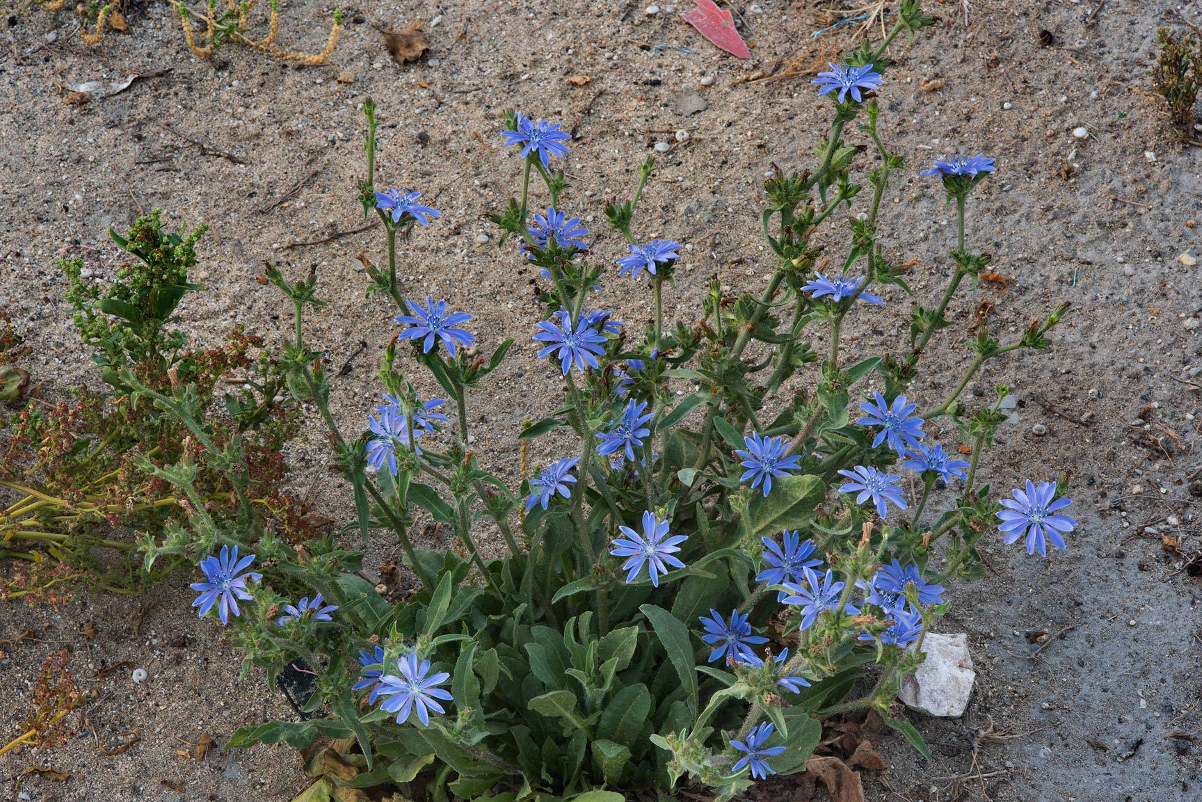 Flowers of chicory (Cichorium pumilum) on the...St. in Onaiza area. Doha, Qatar