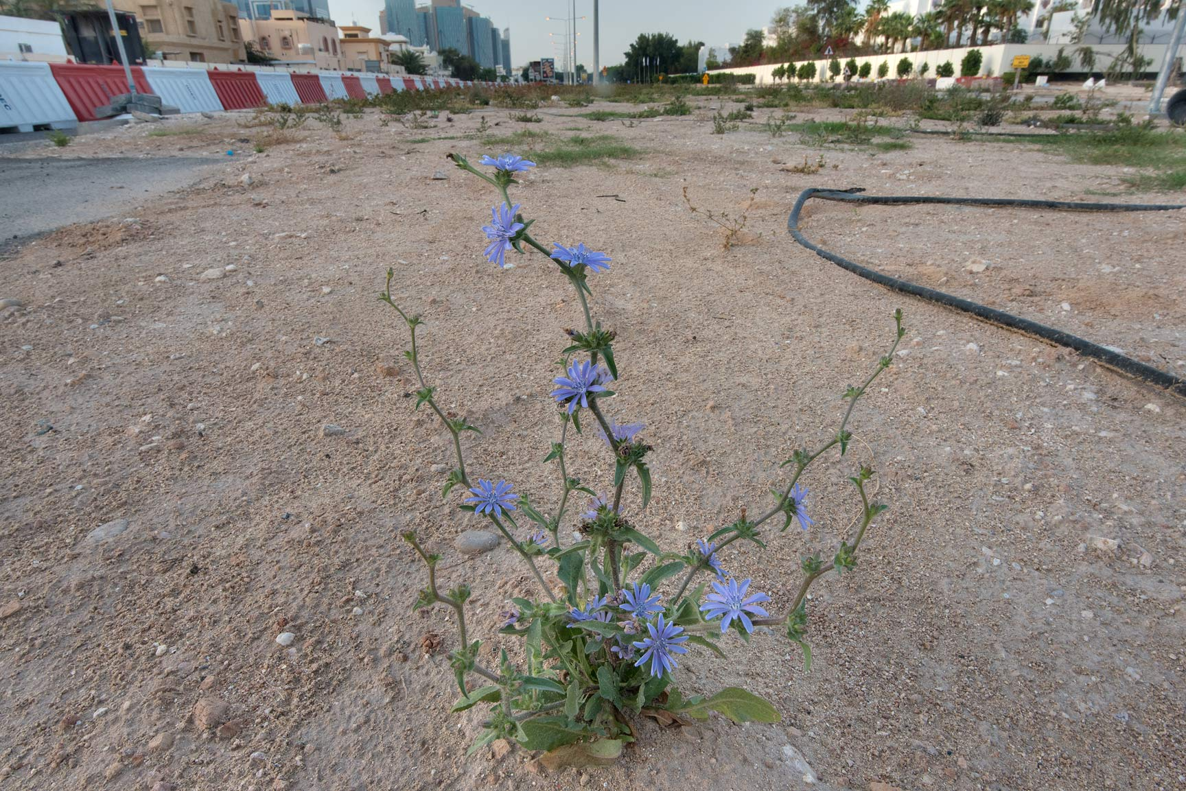 Small blooming plant of chicory (Cichorium...St. in Onaiza area. Doha, Qatar