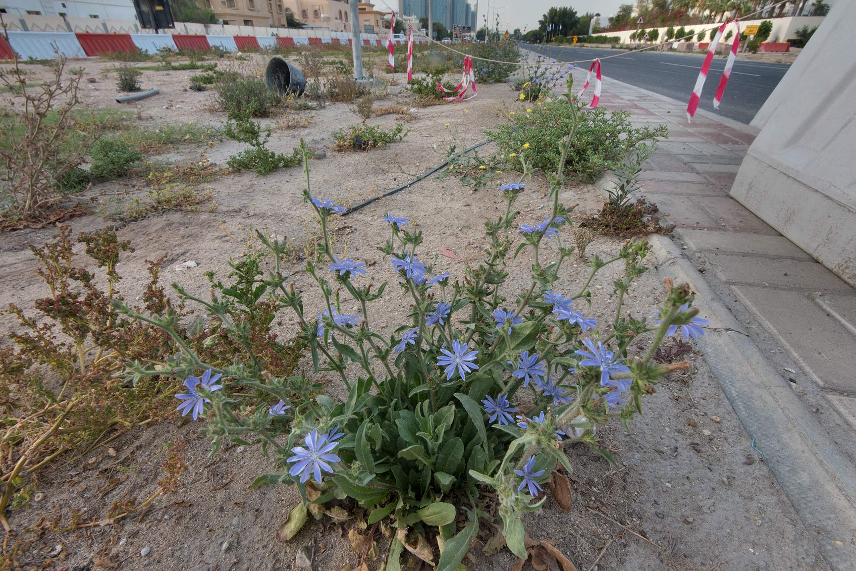 Chicory (Cichorium pumilum) in flower on the...St. in Onaiza area. Doha, Qatar