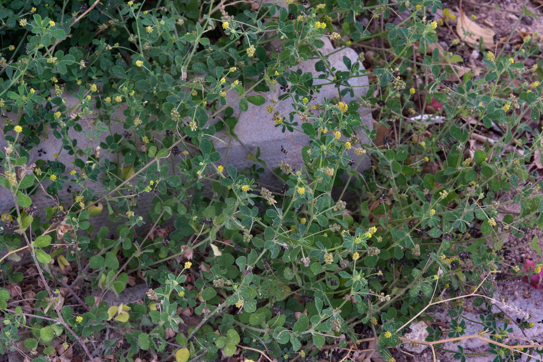 Black medick weeds (Medicago lupulina) growing at...Shabi St. in Onaiza area. Doha, Qatar