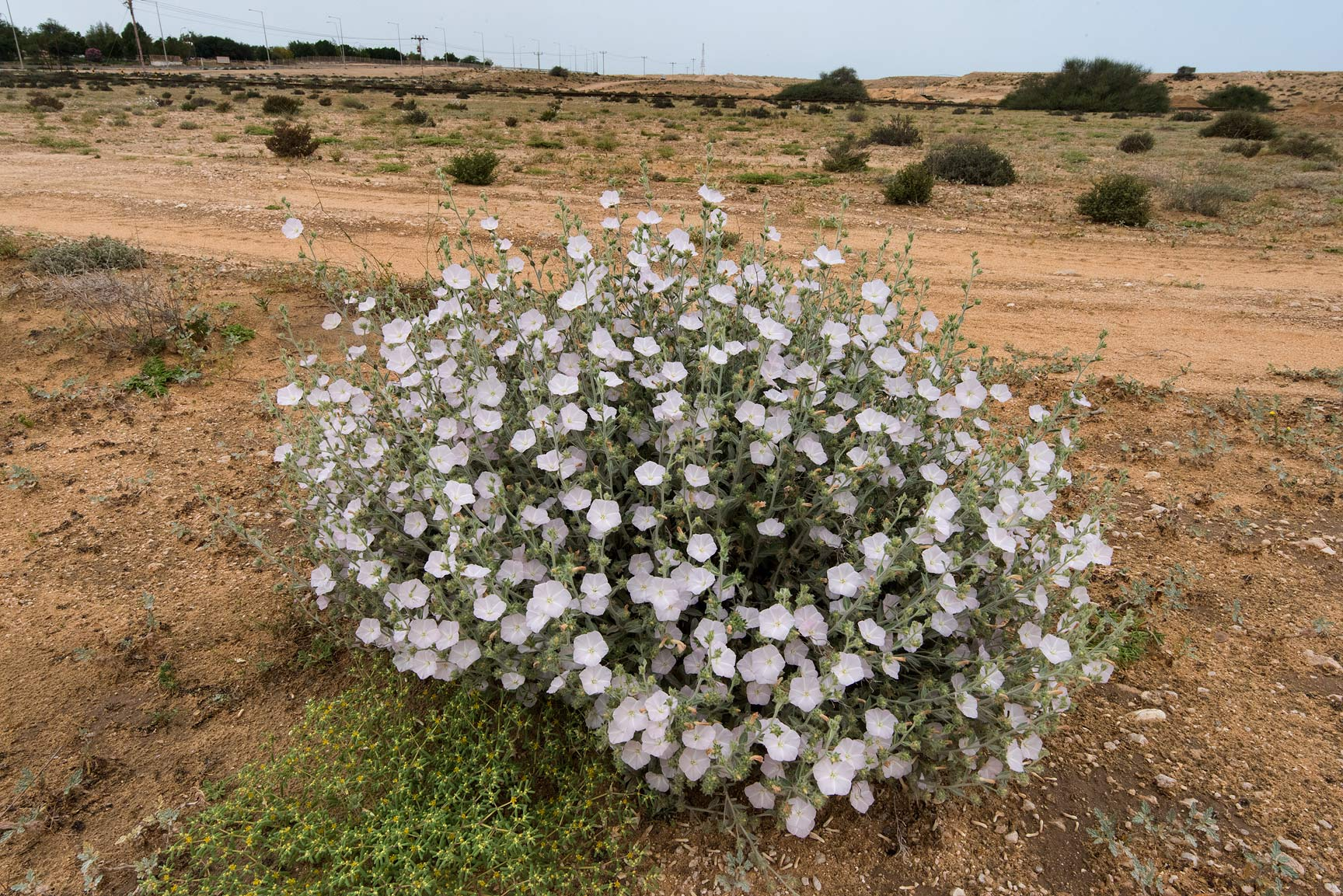 Blooming plant of morning glory (Convolvulus...of Umm Bab in south-western Qatar