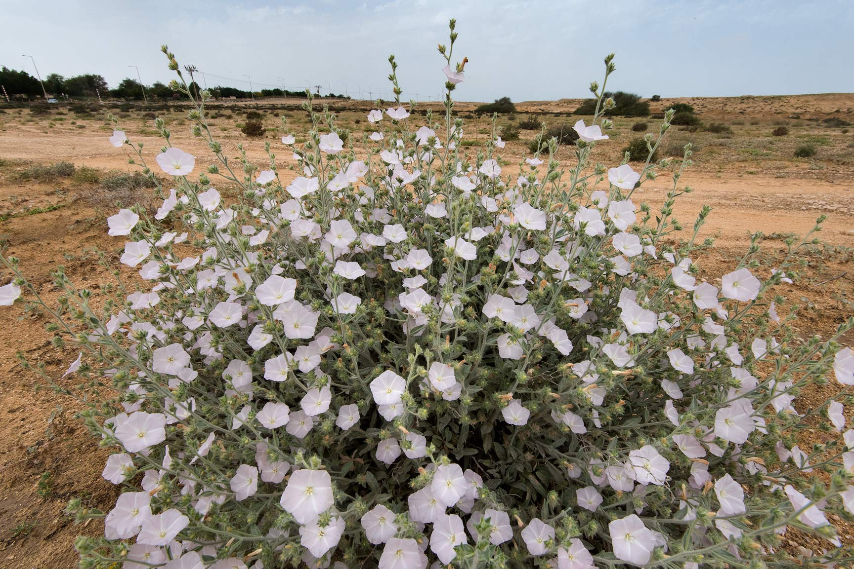 White flowers of morning glory (Convolvulus...of Umm Bab in south-western Qatar