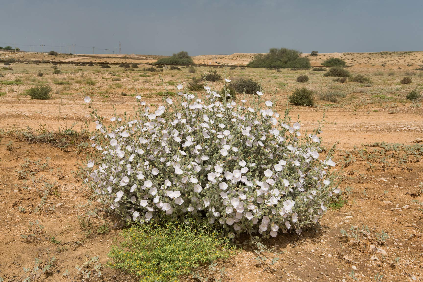 Blooming morning glory (Convolvulus cephalopodus...of Umm Bab in south-western Qatar