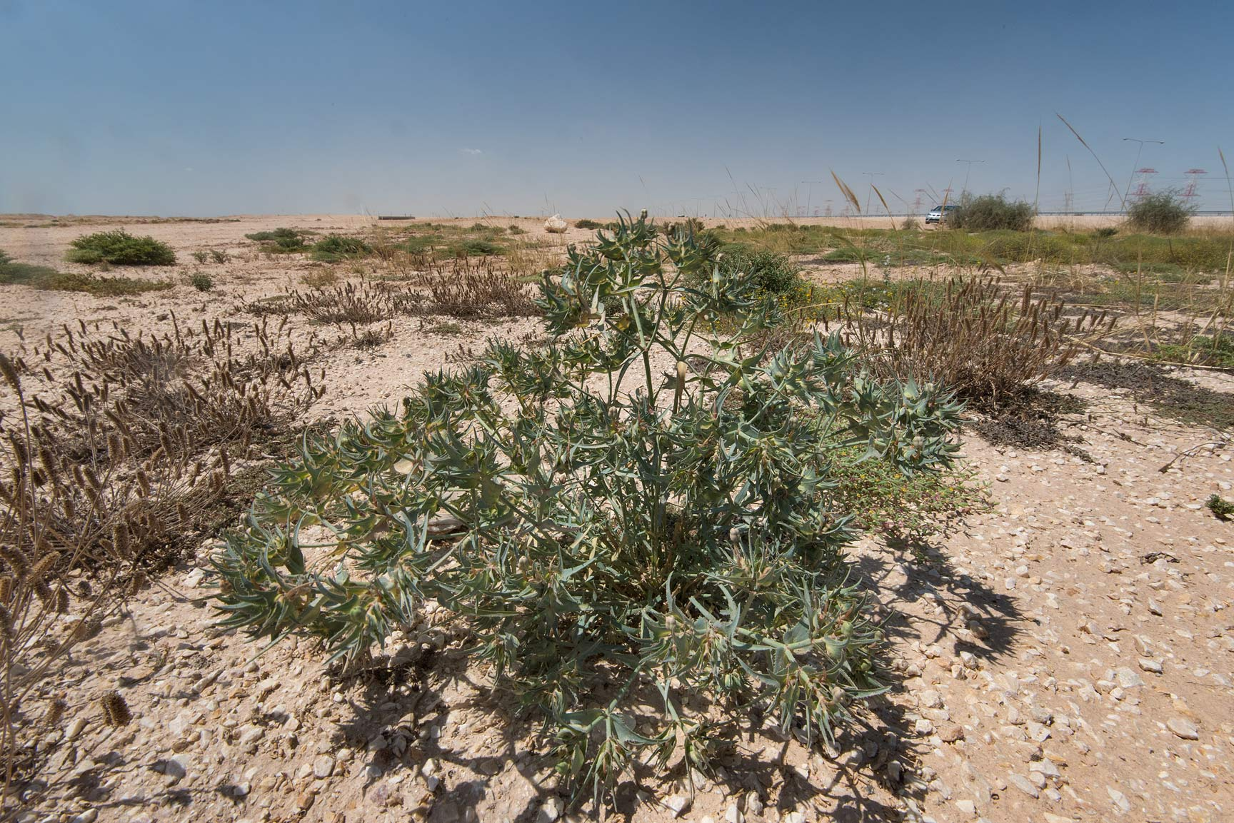 Spurge Euphorbia retusa with fruits in a roadside...near Route 77 to Ras Laffan. Qatar