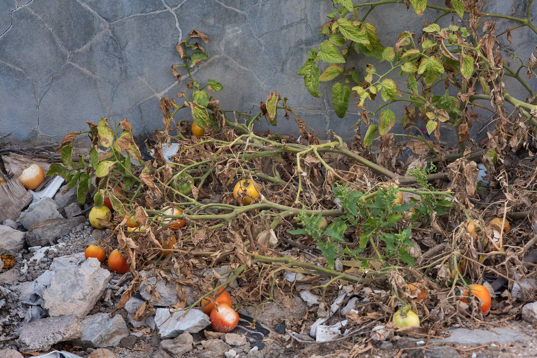 Tomato plant (Solanum lycopersicum) with fruits...St. in Al Luqta area. Doha, Qatar