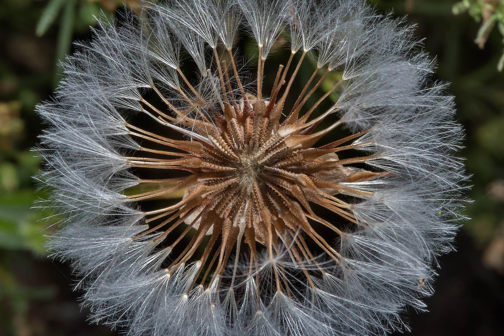 photo 180901 barbary fig cactus opuntia ficusindica