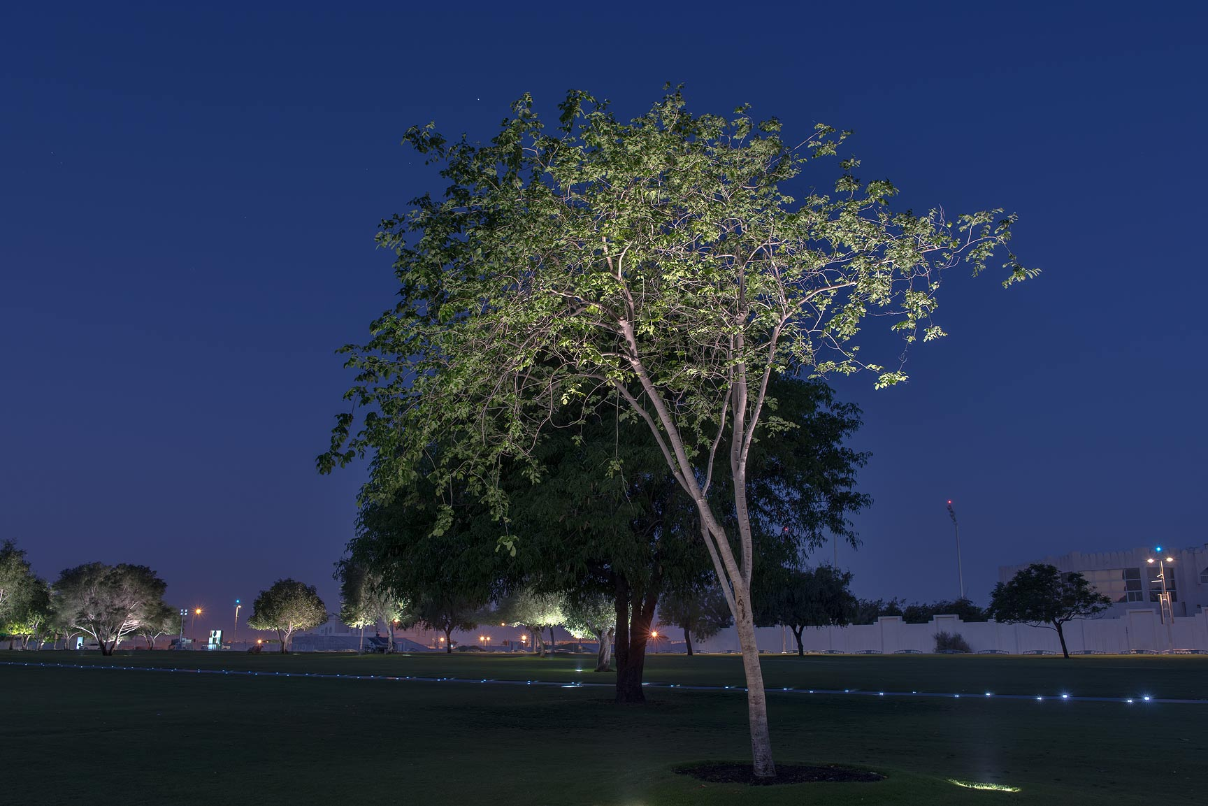 Some slender tree in Aspire Park. Doha, Qatar
