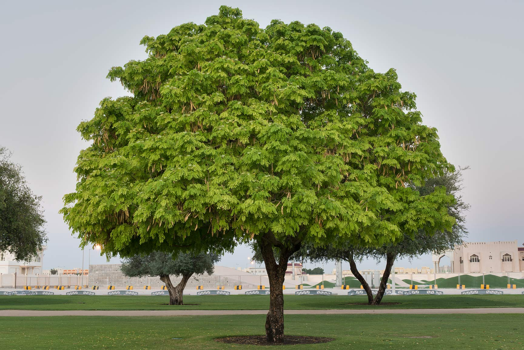 Frywood tree (Albizia lebbeck) in Aspire Park. Doha, Qatar