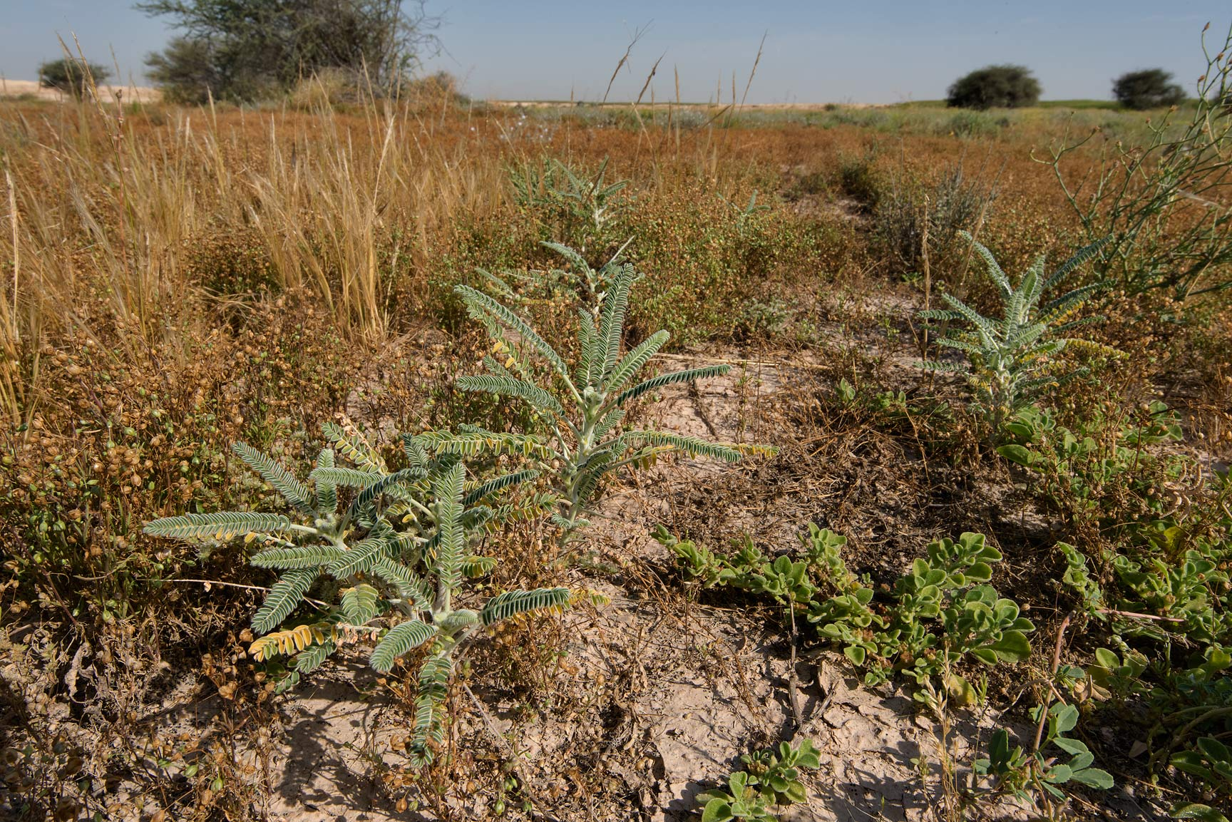 Seedlings of Astragalus sieberi in a depression...in Irkhaya (Irkaya) Farms. Qatar