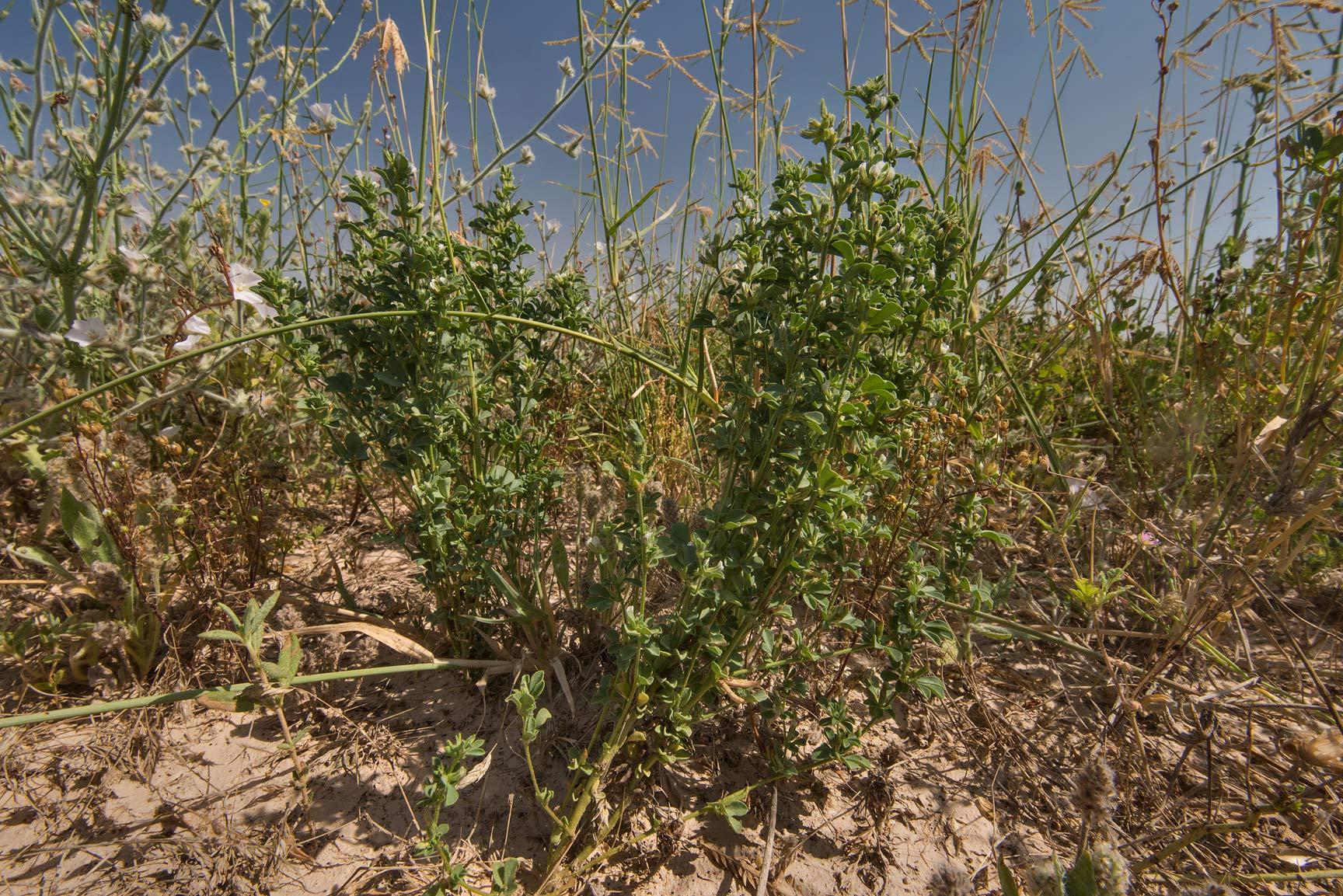 Plant of Lotus glinoides growing in a depression...in Irkhaya (Irkaya) Farms. Qatar