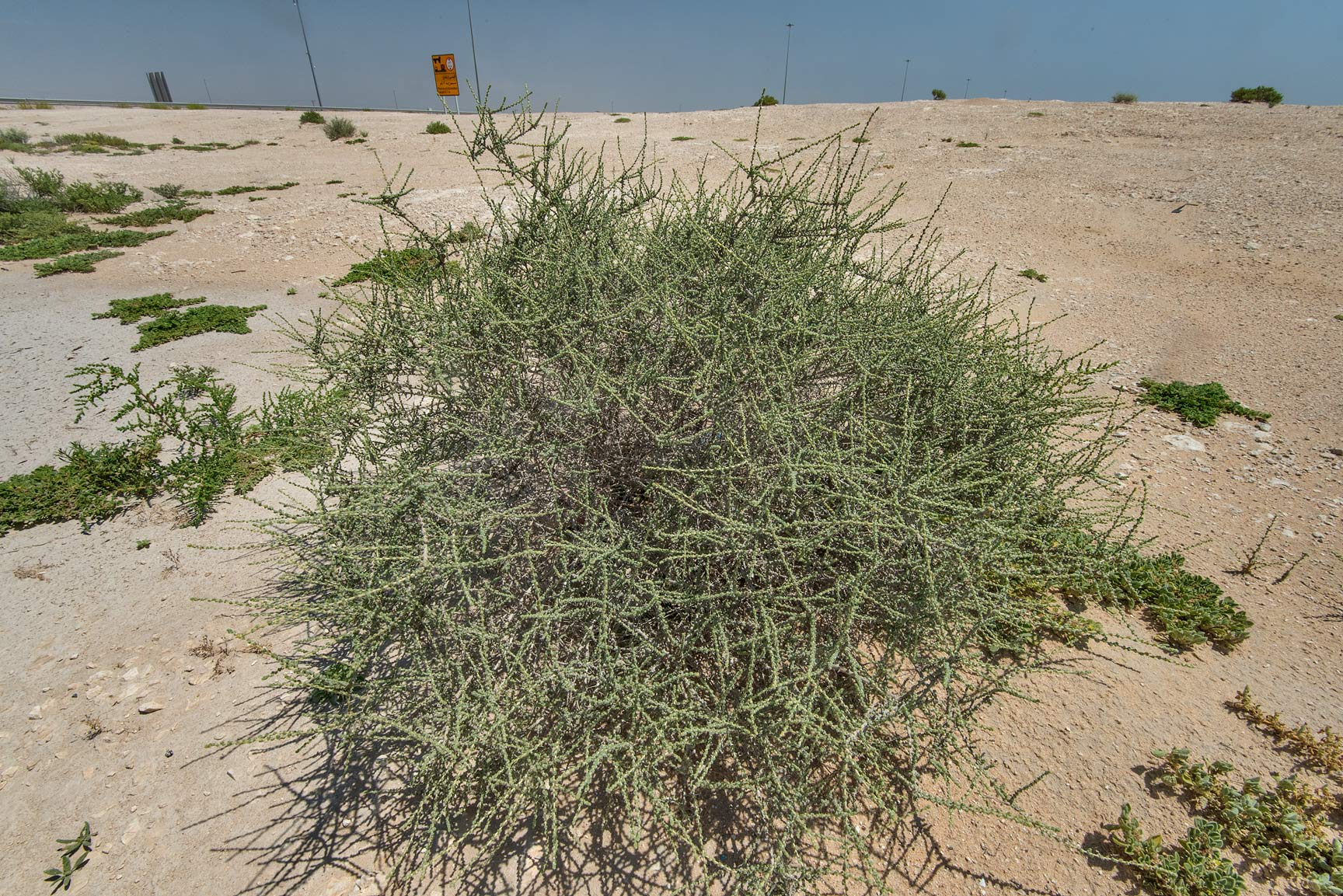 Salsola cyclophylla in a roadside depression near Salwa Rd.. Qatar