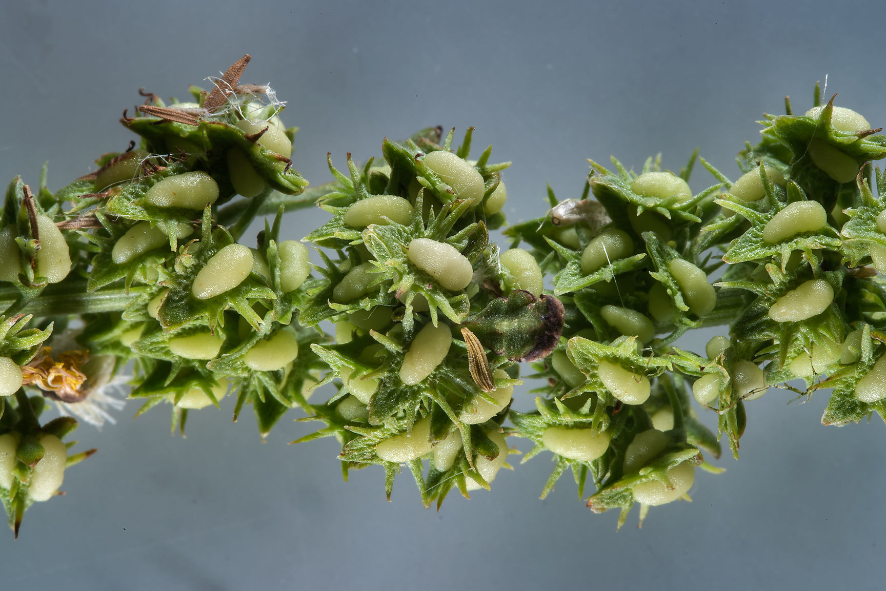 Aegean dock (Rumex dentatus) taken from Green...in Irkhaya (Irkaya) Farms. Qatar