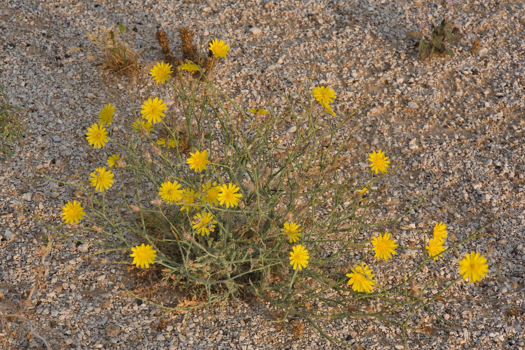 Yellow flowers of Launaea mucronata (local name...Al Kharrarah). Southern Qatar