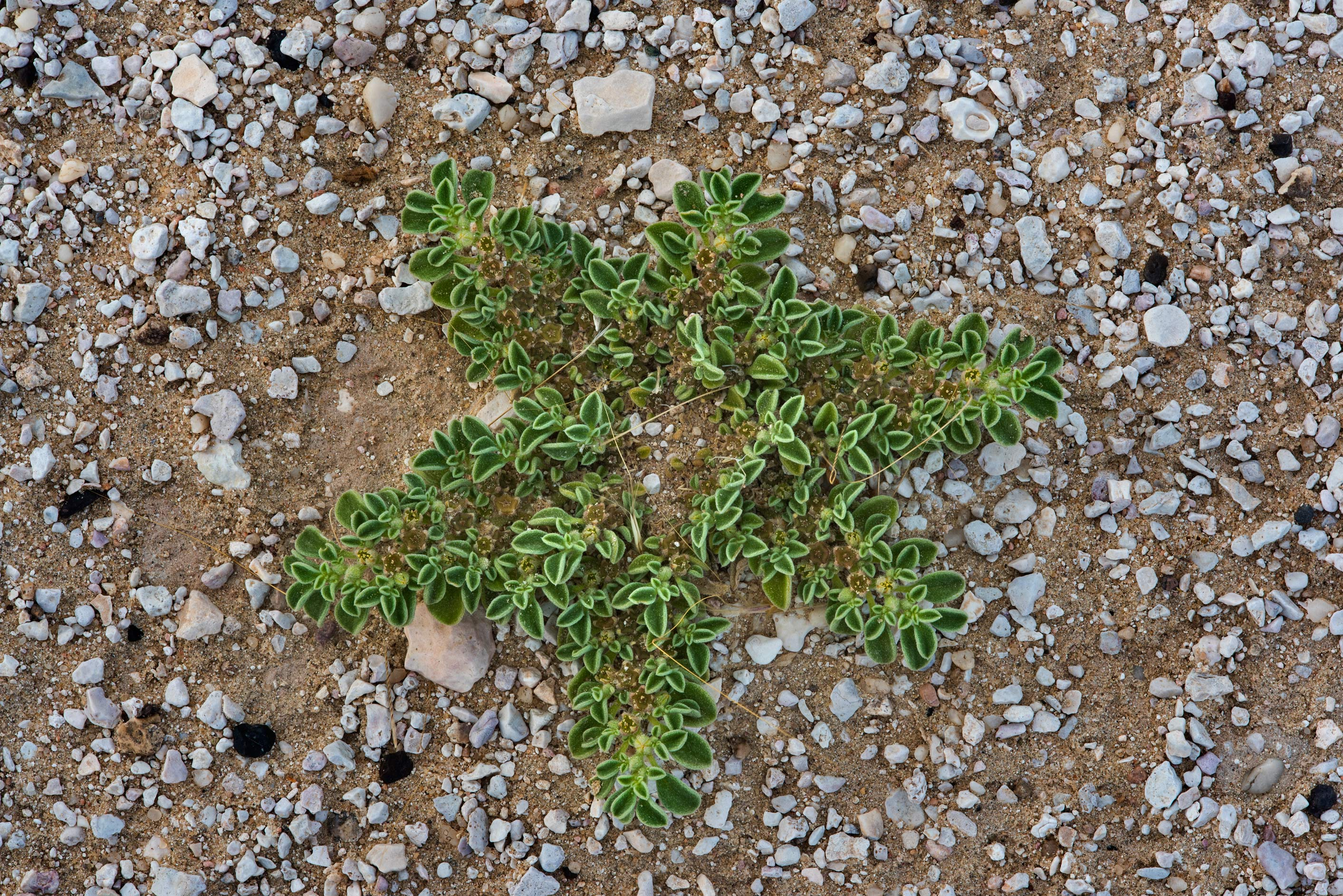 Star-shaped plant of purslane-leaved aizoon...Al Kharrarah). Southern Qatar
