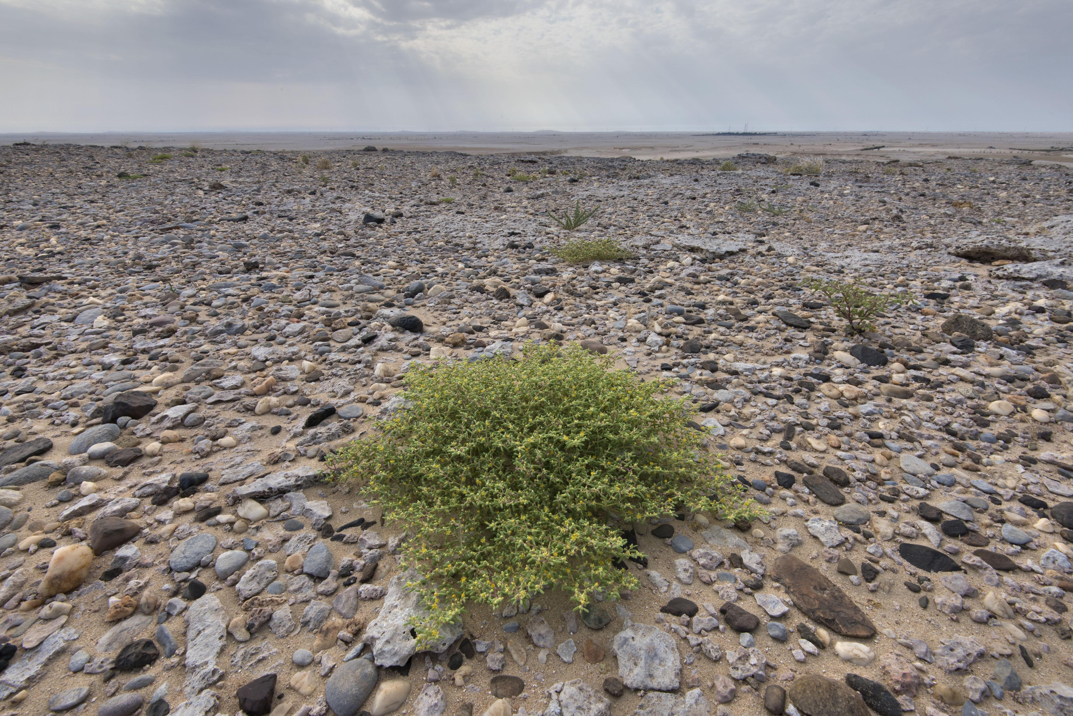 Tetraena simplex - Flora of Qatar