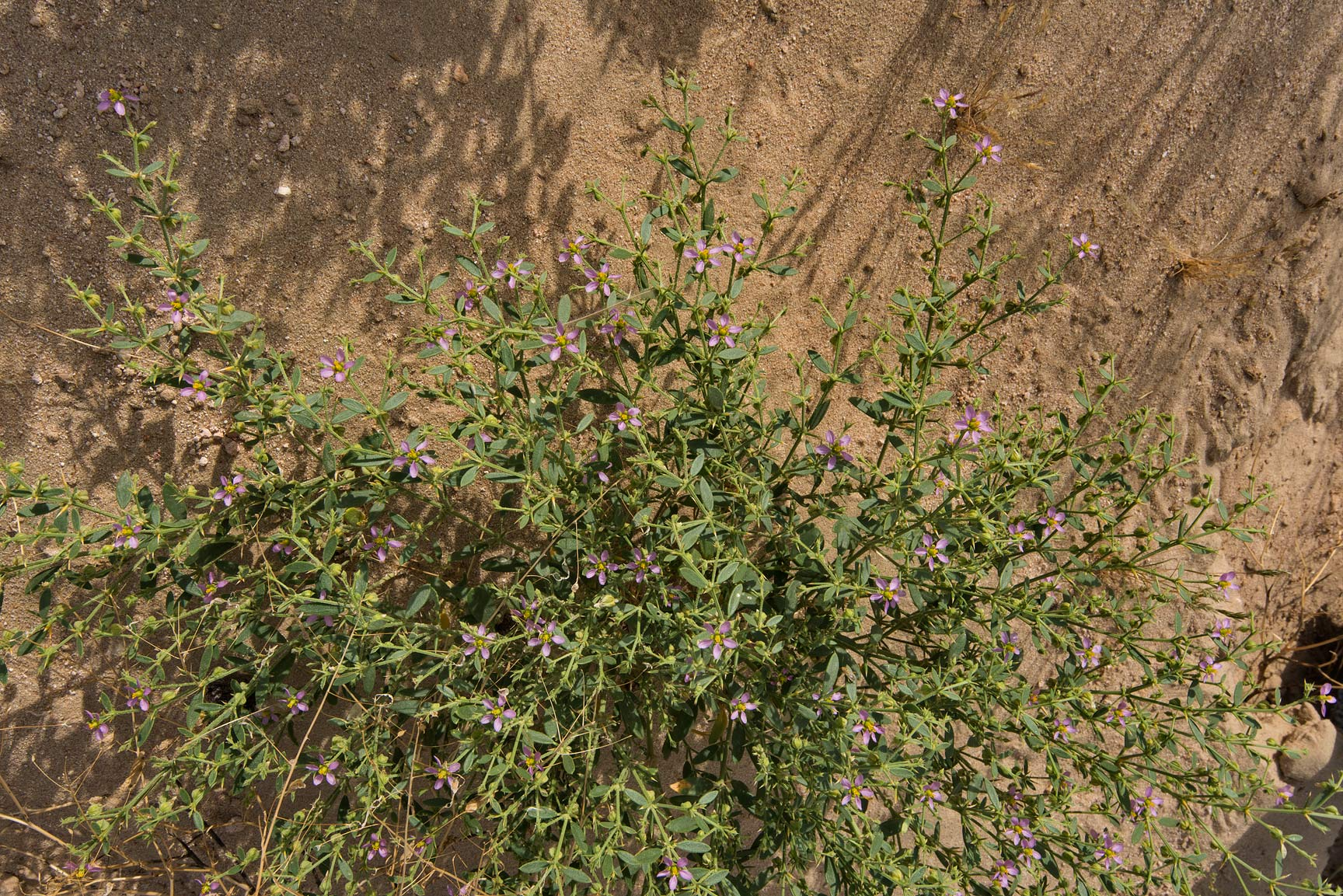 Blooming plant of Fagonia indica on the slope of...Al Kharrarah). Southern Qatar