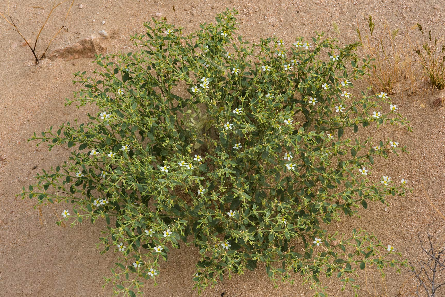 White phenotype of Fagonia indica on the slope of...Al Kharrarah). Southern Qatar
