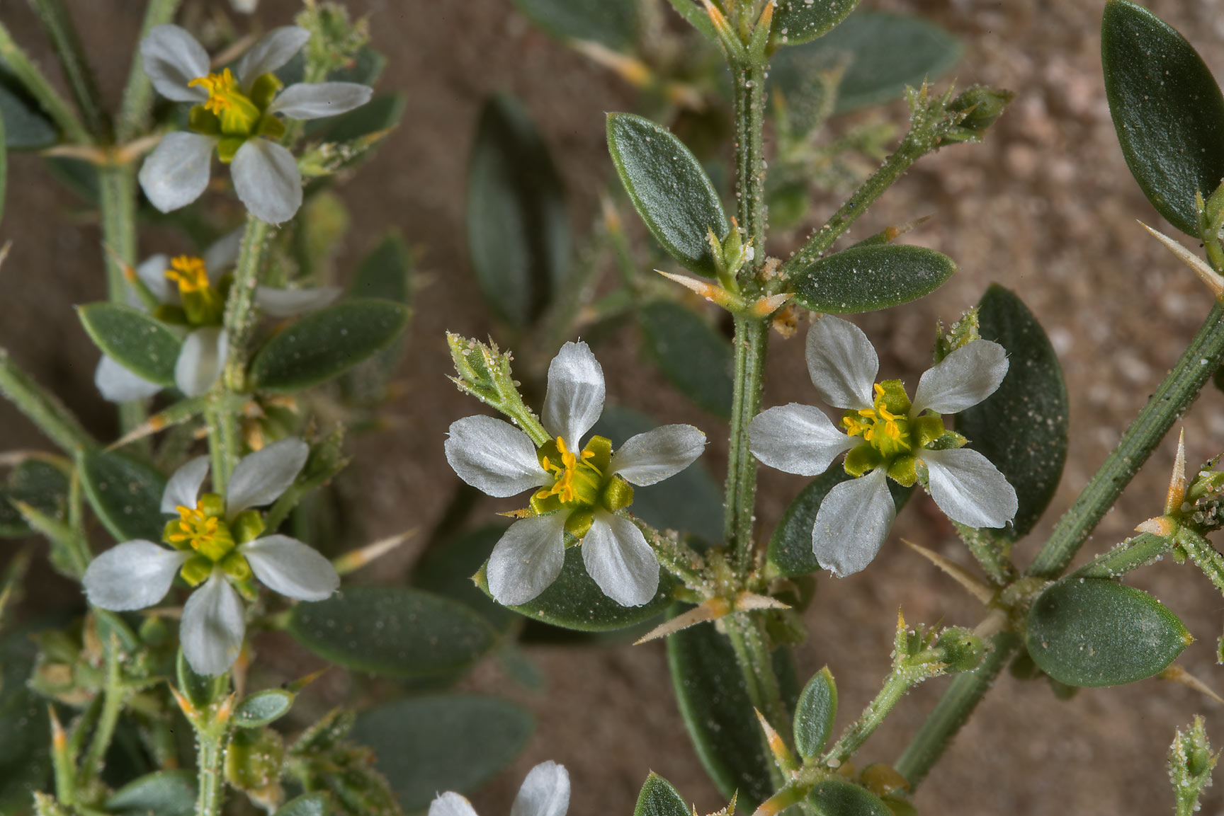 White flowering of Fagonia indica on the slope of...Al Kharrarah). Southern Qatar