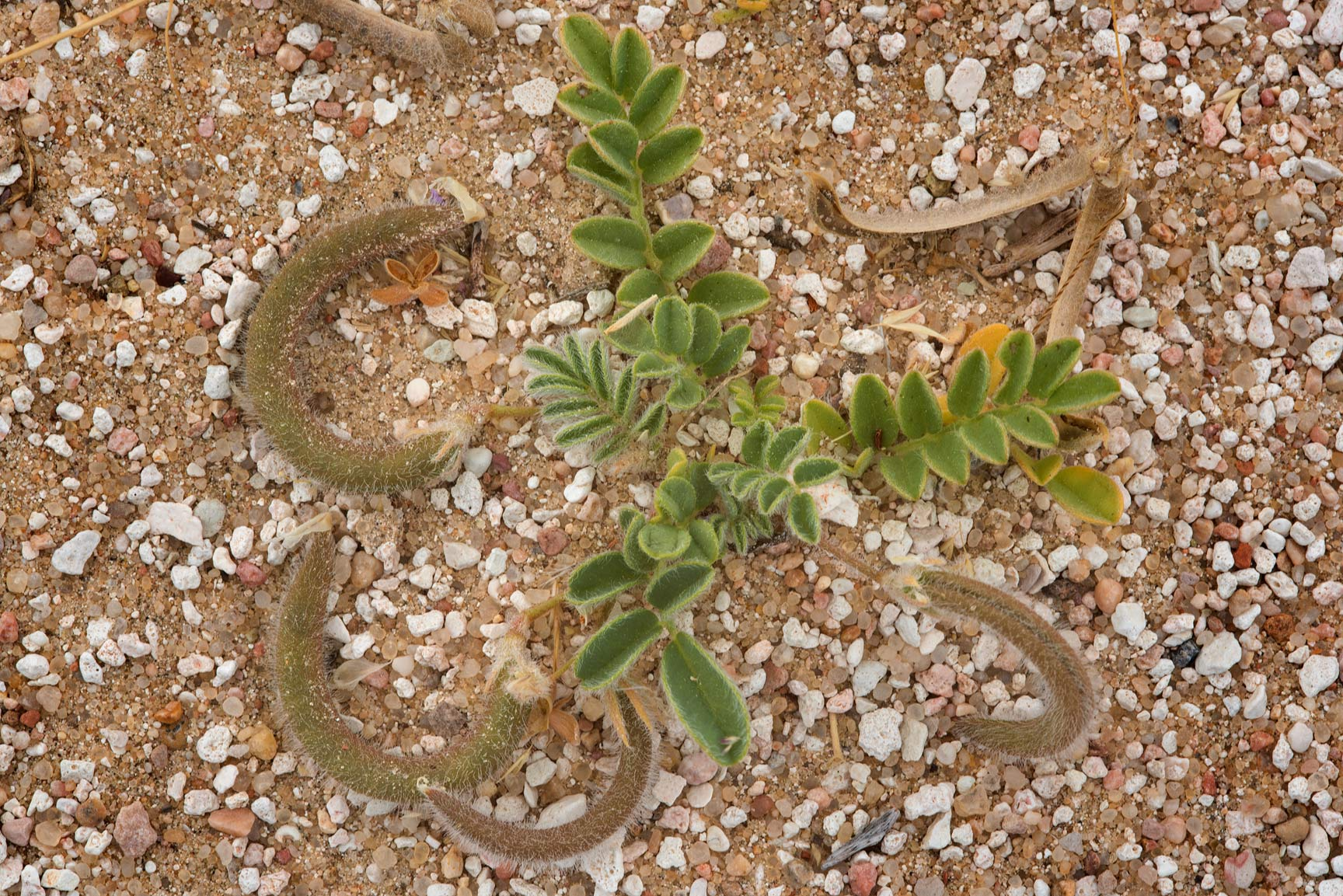 Astragalus eremophilus or may be A. hauarensis on...Al Kharrarah). Southern Qatar
