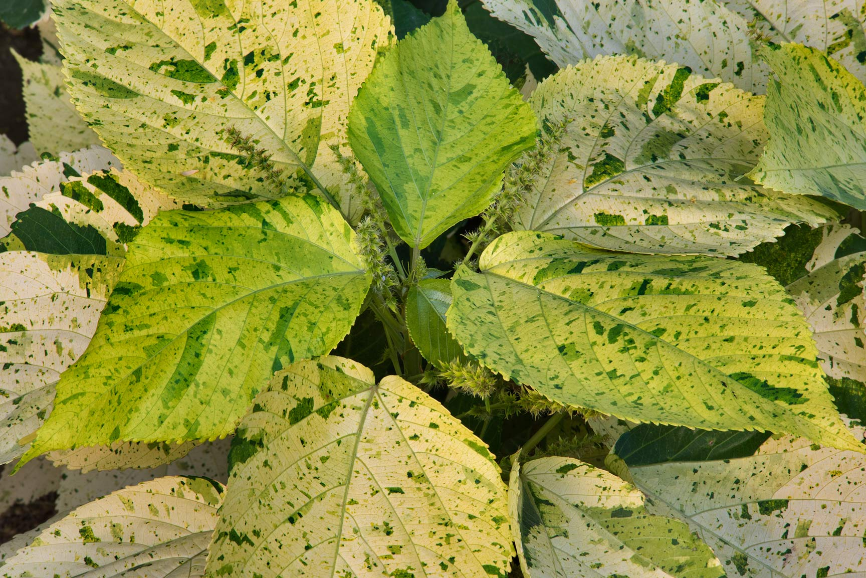Mottled leaves of Acalypha variegata in Dahl Al Hamam Park at Al Markhiya St.. Doha, Qatar