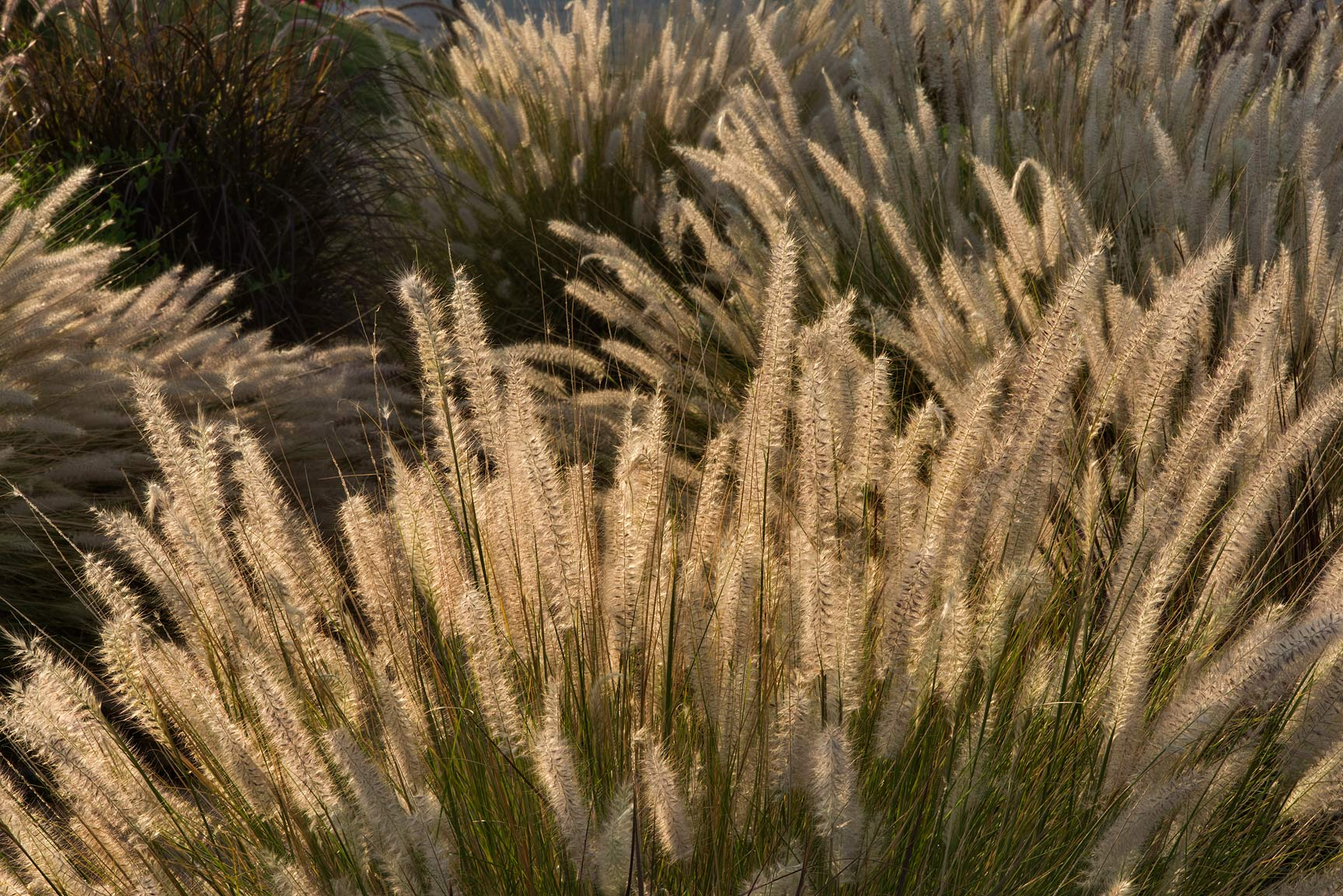 Back lit fountain grass (Pennisetum setaceum...near a corner with Onaiza. Doha, Qatar