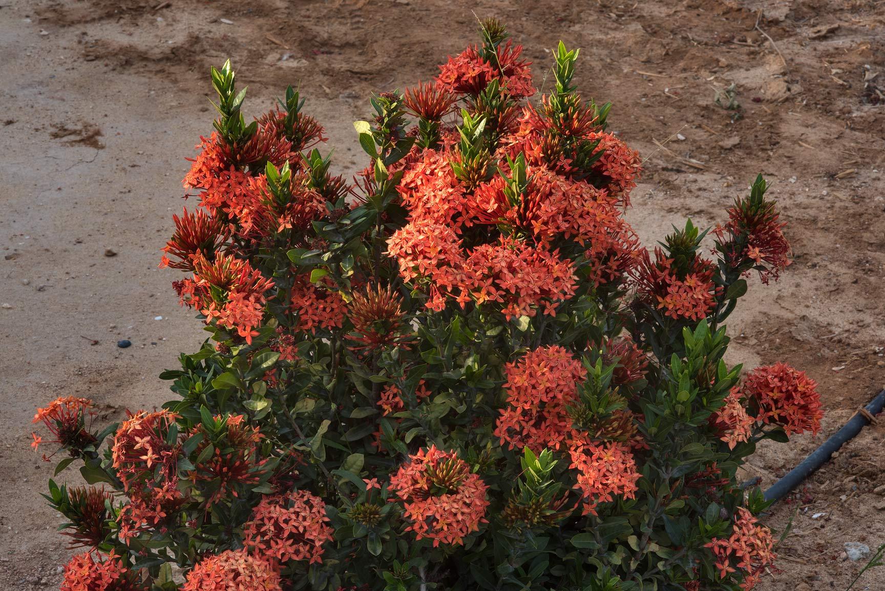 photo 158804 jungle geranium ixora coccinea in a park