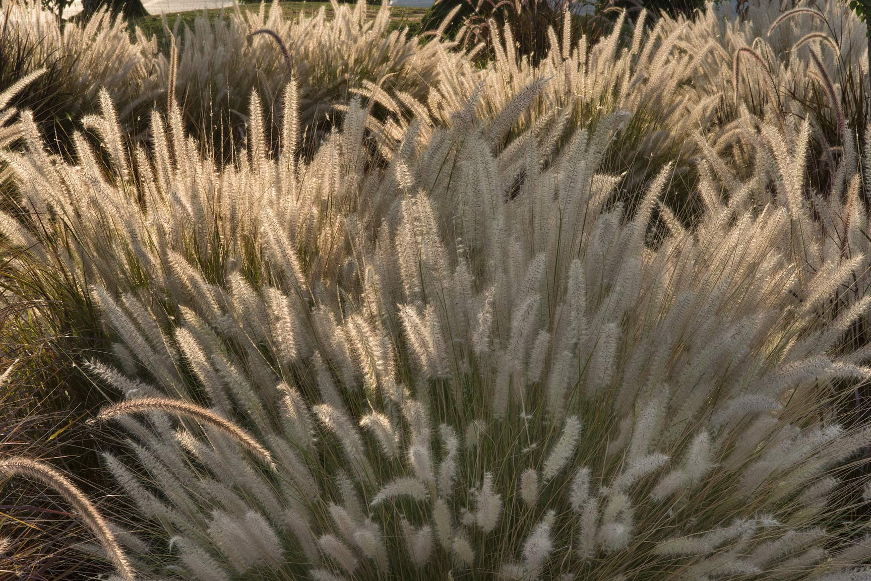 Spikes of fountain grass (Pennisetum setaceum...near a corner with Onaiza. Doha, Qatar