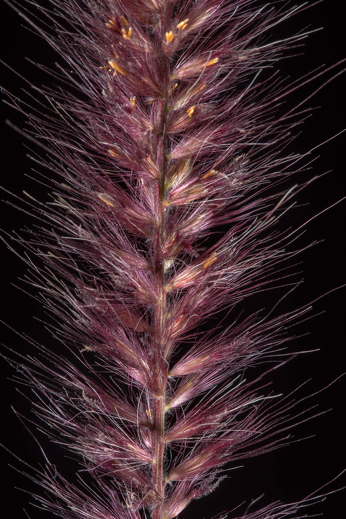 Purple spike of fountain grass (Pennisetum...near a corner with Onaiza. Doha, Qatar