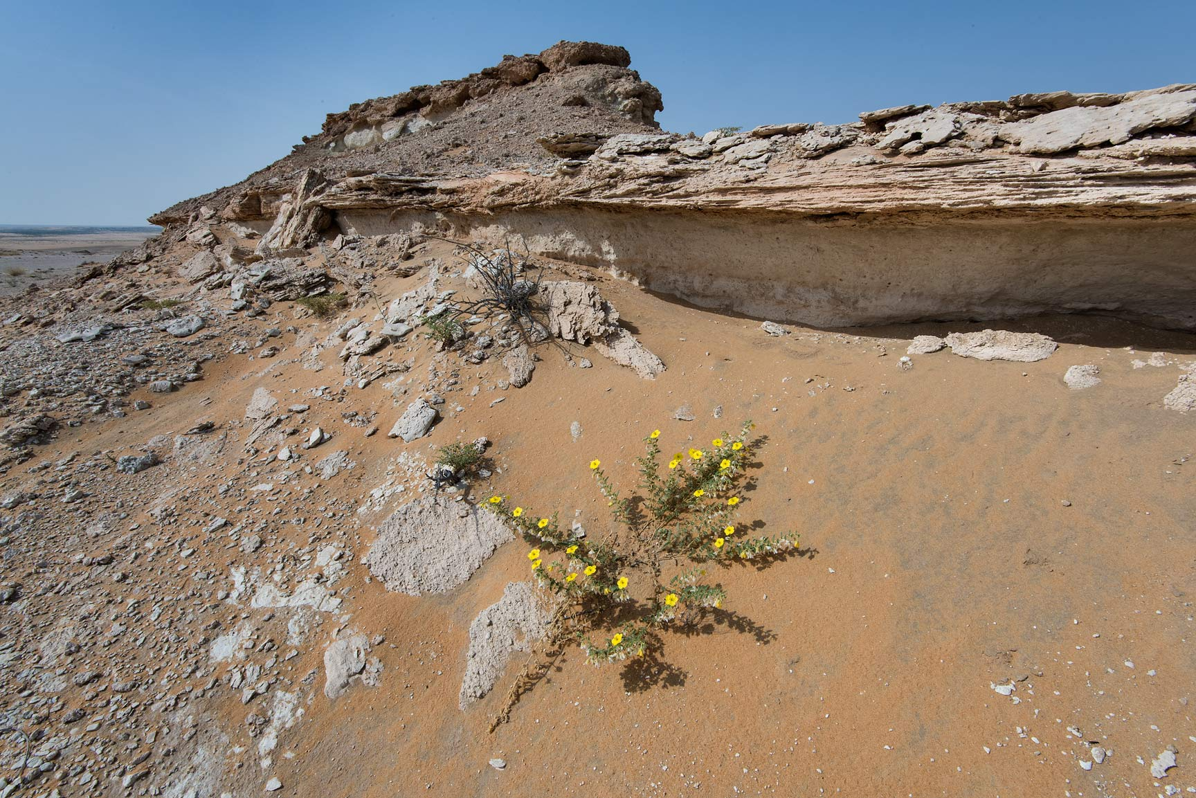 Tribulus macropterus var. arabicus on a slope of...Reserve near Abu Samra. Southern Qatar