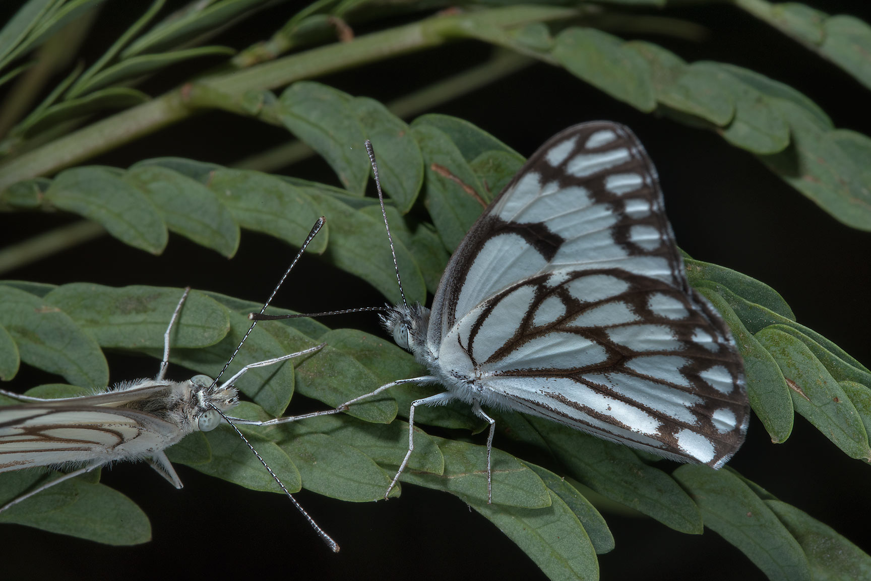 Two sitting pioneer white butterfly (brown-veined...RAFRS) near Al Zubara Rd.. Qatar