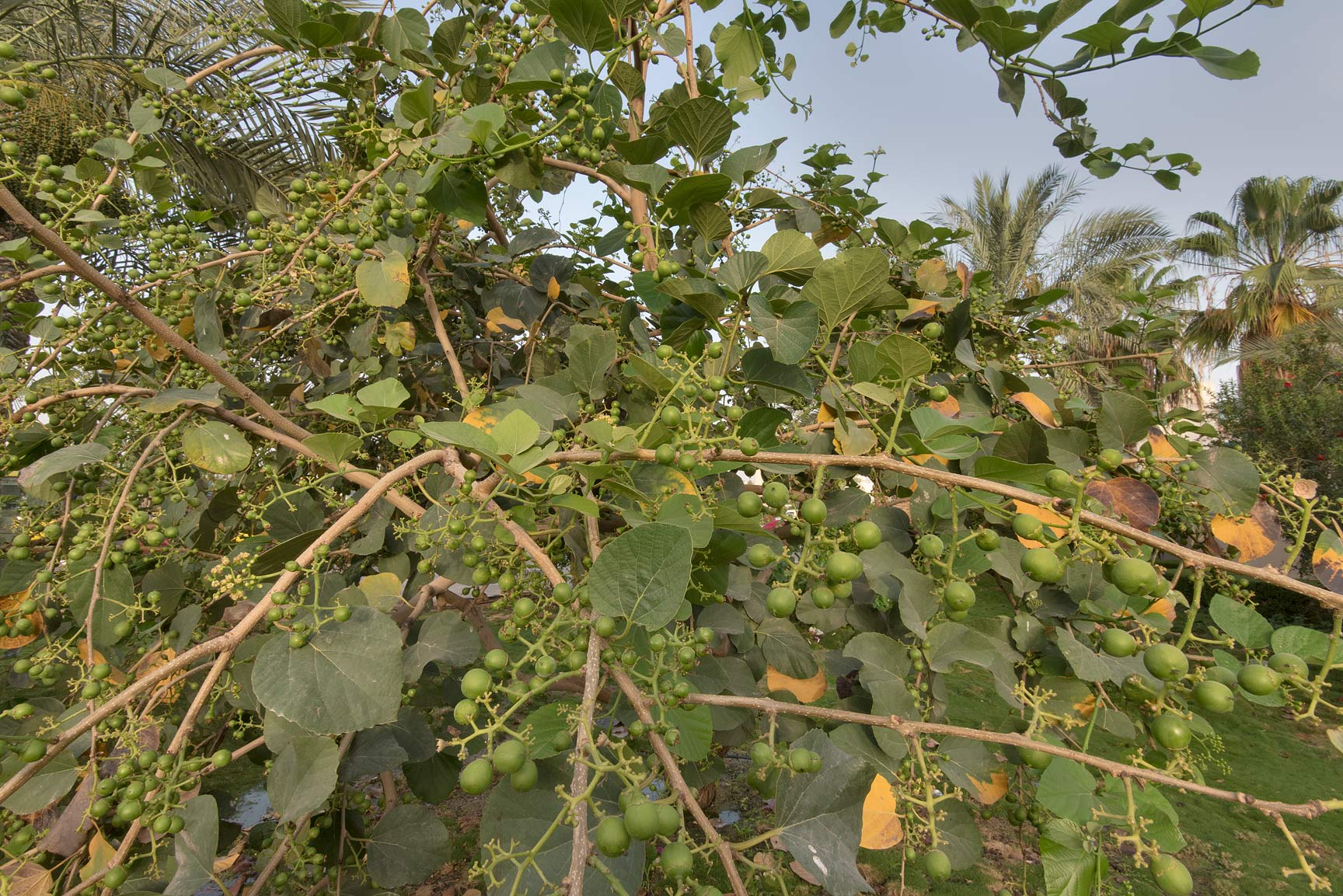 Assyrian plum (Cordia myxa) planted in a park at...a corner with Al Istiqlal. Doha, Qatar